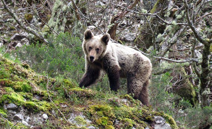 Una imagen de un oso en CyL. /FOP
