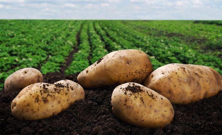 Foto 1 - CyL es la región con mayor superficie dedicada a la patata, con más de 19.000 hectáreas