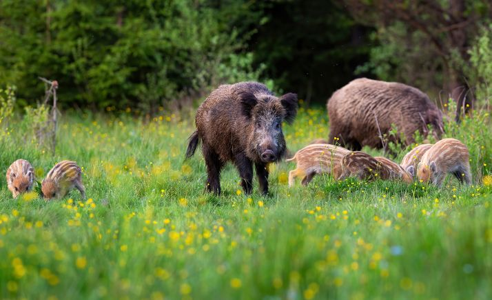 """Foto 1 - COAG denuncia que """"los políticos ven venir la peste porcina como la Covid, de brazos cruzados, aunque ya van 55 casos en Alemania"""""""