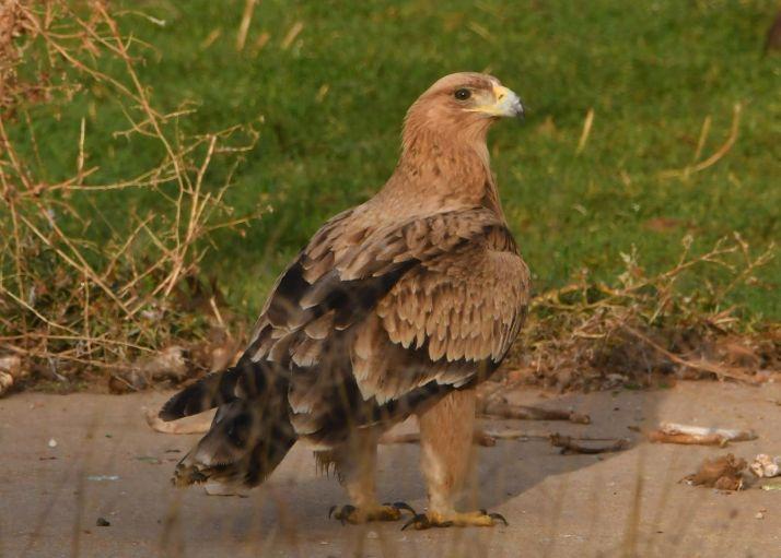 Visita de un águila imperial a Berlanga de Duero. /Ernesto Martínez