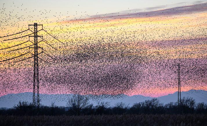 Una bandada de aves en el entorno de un tendido eléctrico.
