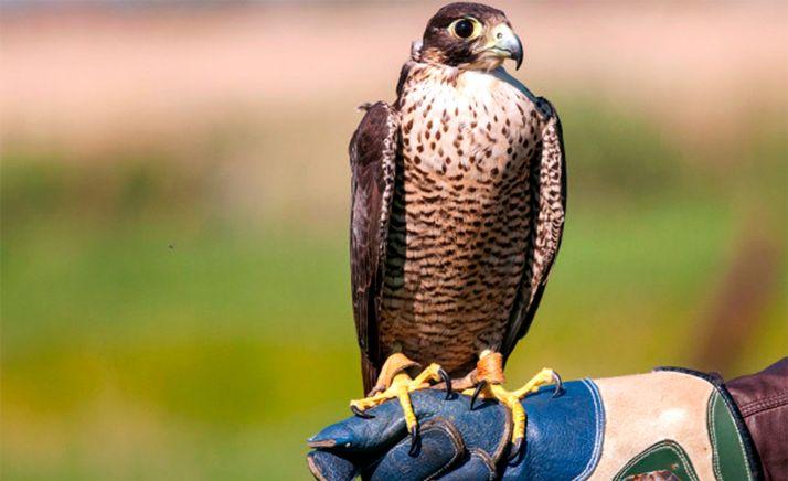 Foto 1 - Absuelto un halconero en Valladolid acusado de falsedad y estafa en la venta de 12 aves a un sultán de Dubái
