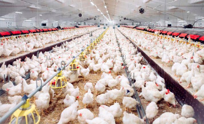 Foto 1 - Aprobado el impacto ambiental para una ampliar una explotación avícola en Abejar con 74.000 plazas más