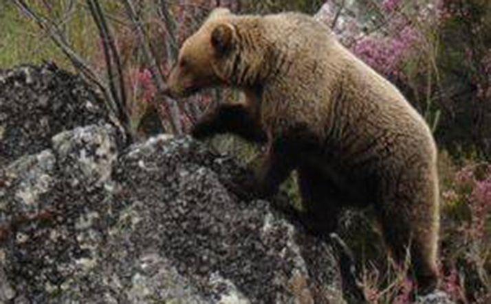 Un ejemplar de oso en la montaña palentina.