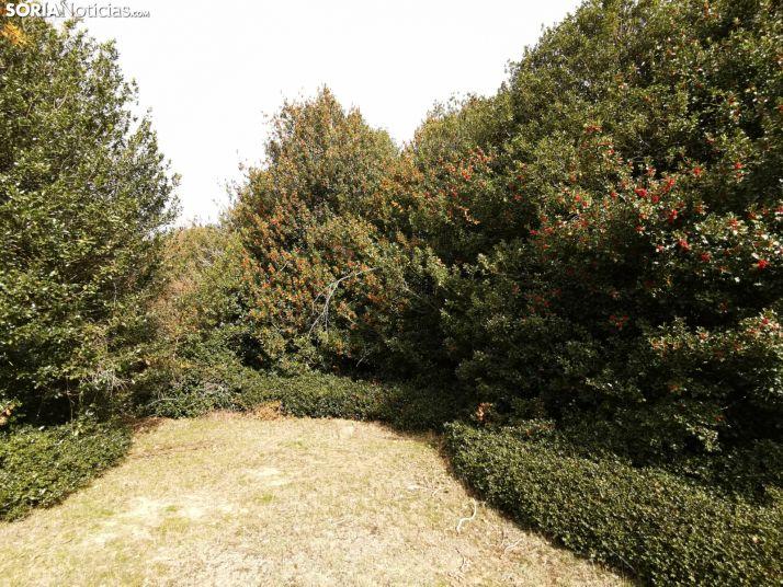 Foto 1 - La Junta autoriza el aprovechamiento de 25.290 kilos de rama ornamental de acebo para Navidad en Soria
