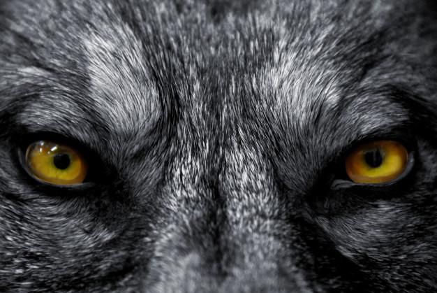 Foto 1 - CyL, Asturias, Cantabria y Galicia alertan: Impedir cazar lobos aumentará los ataques al ganado
