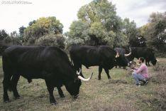 Bueyes de la serrana negra de la ganadería de Enrique Rubio. /María Ferrer