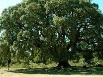 La carrasca de San Román, en todo su esplendor, antes de romperse una de las ramas.