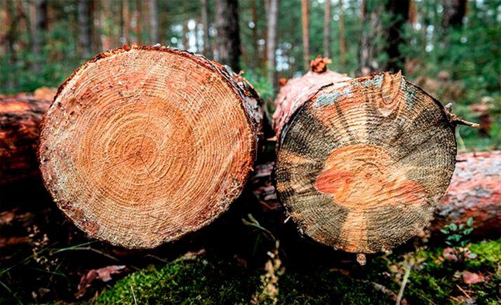 Foto 1 - Un estudio abordará la caracterización estructural de la madera de pino silvestre de Soria