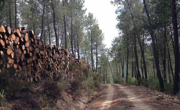 Almazán licita dos lotes de aprovechamientos maderables