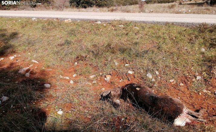 El cuerpo de una corza tras ser atropellada en el Madero. /SN