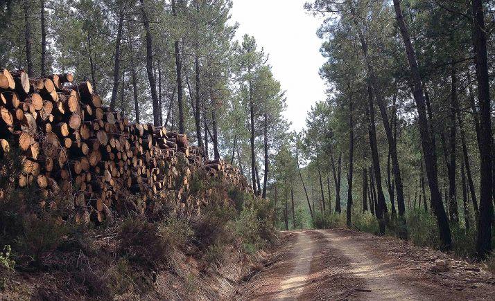 Foto 1 - Almazán licita dos lotes de aprovechamientos maderables