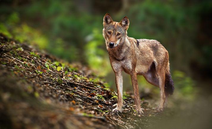 Foto 1 - Cuatro comunidades acudirán a los tribunales si el Gobierno incluye el lobo en el Listado de Especies en Régimen de Protección Especial