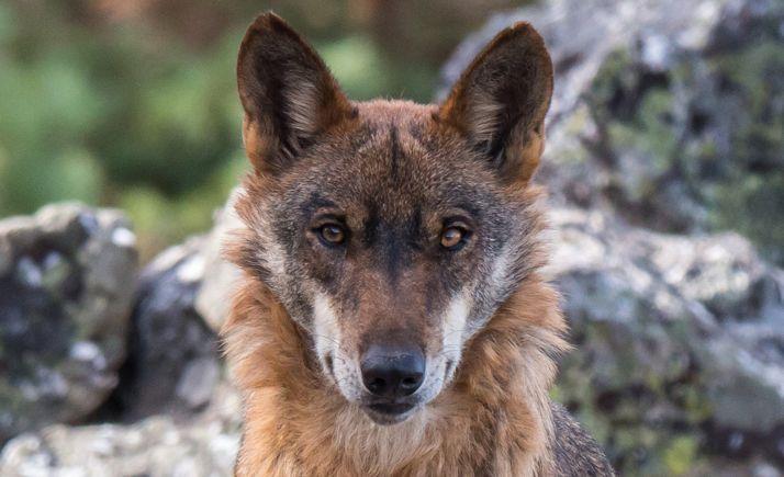 Foto 1 - CyL y las comunidades del Norte piden aplazar el grupo de trabajo del lobo hasta aclarar las dudas sobre el acuerdo de la última Comisión Estatal