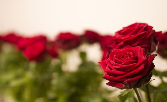 Foto 1 - Rosas rojas por San Valentín en el IES Castilla