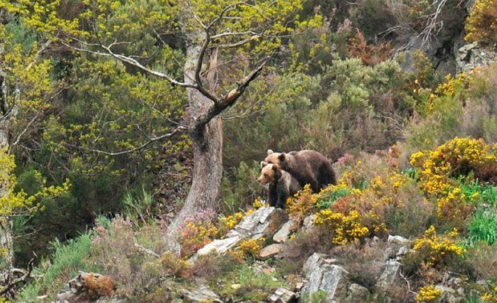 Foto 1 - Un nuevo proyecto, con participación regional, facilitará la adaptación del oso al cambio climático
