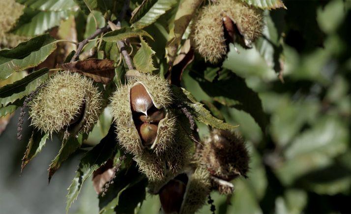 Foto 1 - La suelta del parasitoide Torymus sinensis inicia la campaña contra la avispilla del castaño
