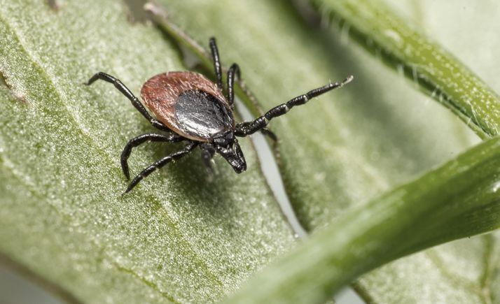 La garrapata del género 'Hyalomma' es el vehículo principal de este tipo de contagio.