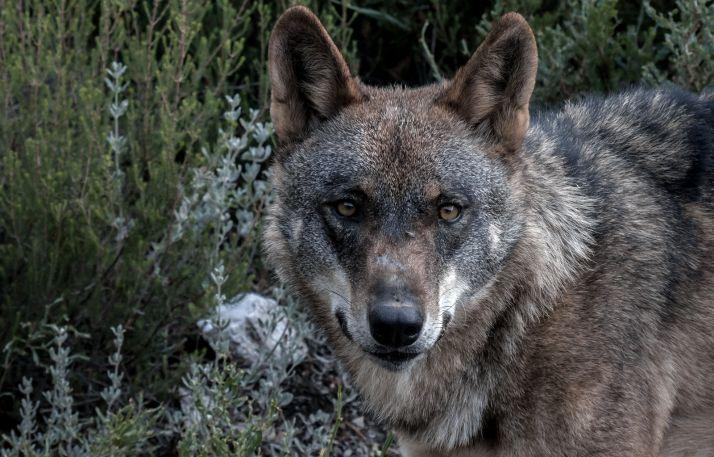Castilla y León y otras diez CCAA piden retirar la inclusión del lobo como especie protegida hasta modificar la Estrategia Nacional