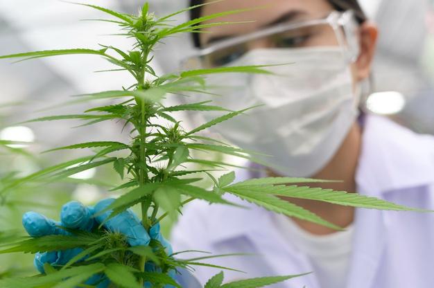 Imagen ilustrativa de otro cultivo de cannabis terapéutivo.