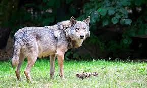 Foto 1 - Veterinarios e ingenieros de montes piden una gestión del lobo con el consenso social