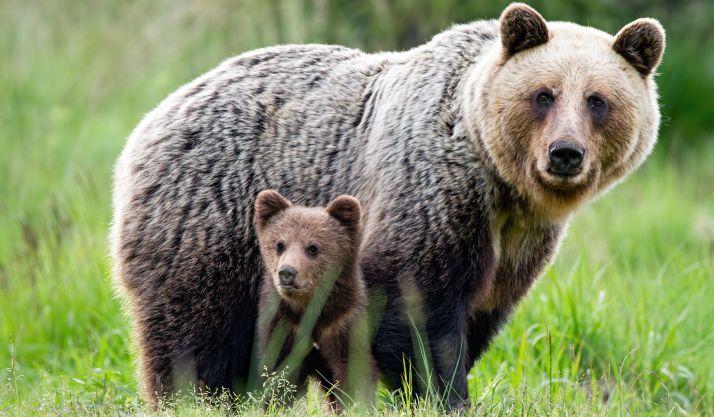 Madre y cría de oso pardo.
