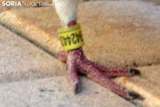 Foto 5 - '9424439', la paloma portuguesa que prefirió quedarse en Soria