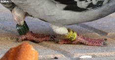 Foto 4 - '9424439', la paloma portuguesa que prefirió quedarse en Soria