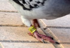 Foto 3 - '9424439', la paloma portuguesa que prefirió quedarse en Soria