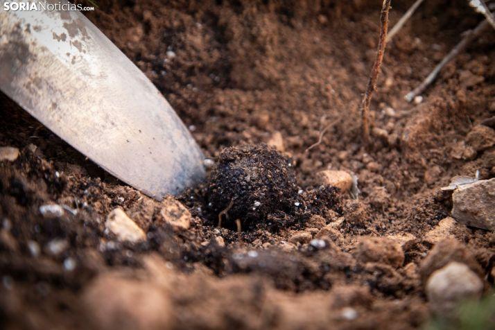 La herramienta del truficultor extrae con habilidad una trufa negra. /María Ferrer