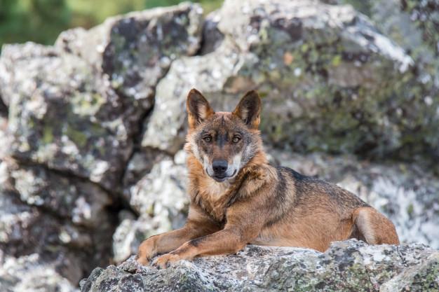 Foto 1 - El Consejo de Ingenieros Agrónomos apoya la protección del lobo ibérico