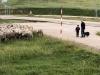 Foto 2 - Los últimos rebaños de merinas trashumantes regresan a Tierras Altas
