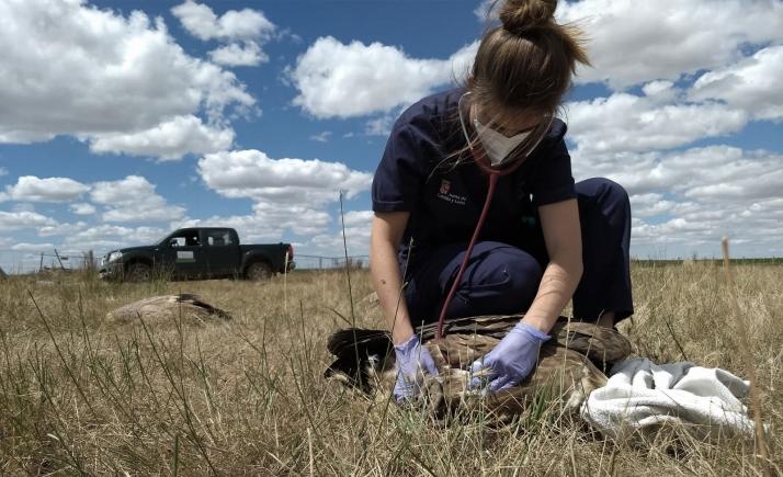 Una veterinaria del Centro de Recuperación de Aves Silvestres, durante el reconocimiento a una de las aves. /Jta.