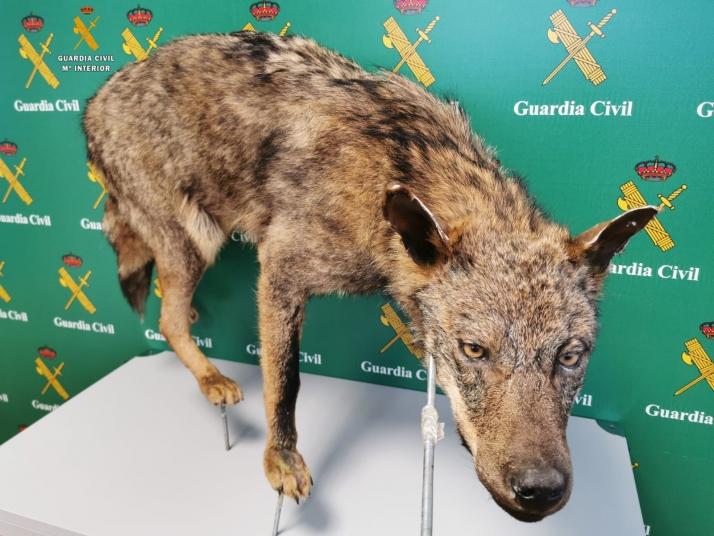 Ejemplar de lobo entero naturalizado incautado en la Operación Signatus.