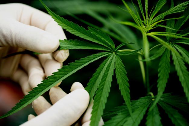 Cultivo de cannabis terapéutico.