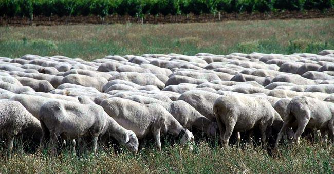 Foto 1 - El Senado aprueba una moción para el impulso del sector caprino y ovino defendida por el agredeño Jesús Manuel Alonso