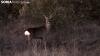 Foto 1 - ASAJA pone de manifiesto la proliferación de corzos en los campos