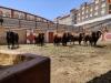 Los toros descansando en los corrales./ Foto: Tauroemoción Teruel