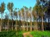 Foto 1 - Castilla y León enajena madera de chopo consiguiendo el precio más alto de la historia