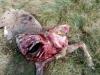 Uno de los animales muertos tras ser atacado por lobos. /UPA Soria