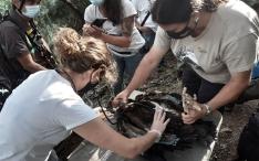 Revisión veterinaria a un buitre negro nacido en 2021 en la Sierra de la Demanda. /Jta.