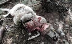 Uno de los animales muertos tras ser atacados por lobos. /UPA Soria