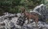 Foto 1 - Advierten que los ataques de lobos al ganado se producen en un número mayor que los conocidos