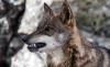Foto 1 - ASAJA, COAG y UPA acusan al Gobierno de condenar a la ganadería a su extinción al blindar al lobo