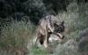 Foto 1 - El PSOE apoyará la presentación de un recurso contra la orden del lobo pero no admite lecciones de la Junta