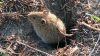 Foto 1 - Las poblaciones de topillos modulan el riesgo de tularemia en el medio agrario