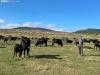 Alejandro García con algunas de sus vacas negras serranas sorianas.