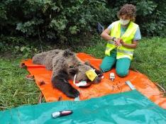 Foto 3 - El programa de captura y radiomarcaje de oso pardo en Castilla y León se inicia con éxito con una osa en Alto Sil