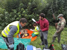 Foto 4 - El programa de captura y radiomarcaje de oso pardo en Castilla y León se inicia con éxito con una osa en Alto Sil