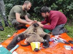 El programa de captura y radiomarcaje de oso pardo en Castilla y León se inicia con éxito con un
